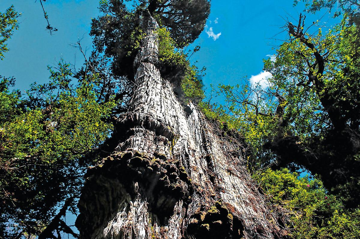 En busca de los árboles más longevos del país